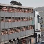 MANUAL BÁSICO DE CONTROL Y TRANSPORTE DE ANIMALES POR CARRETERA
